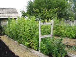 this is the basic trellis design for our raspberries and