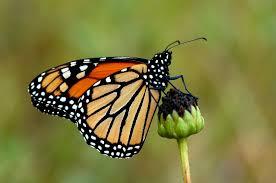 monarch butterfly chesapeake bay program