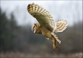 Where Do Barn Owls Live Where Do Barn Owls Live