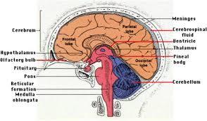 External Heart Anatomy Internal Brain Anatomy External Heart Heart Skull Diagram Quiz Mri