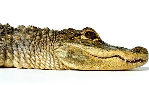 evolution hasn u0027t revamped alligators in 8 million years futurity
