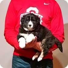 australian shepherd kalamazoo kalamazoo mi chihuahua mix meet amie a dog for adoption http