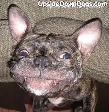 jack russell american pitbull terrier mix pug search for pug at upside down dogs dog page 9