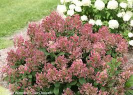 bulk hydrangeas plants panicle hydrangea