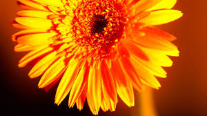 Gold Flowers Flowers Gold Flower Gerbera Yellow Nature Ultra Hd Images For Hd