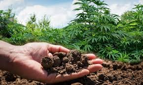Cannabis Flower by How To Make Your Own Organic Cannabis Fertilizer U2022 Green Rush Daily