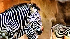zebra forest download wallpapers zebra wildlife africa forest