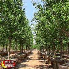 moon valley nurseries trees