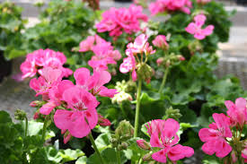 pelargonium geranium u2013 easy flower project to start a spring