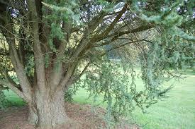 file atlas cedar cedrus atlantica glauca tree base 3008px jpg
