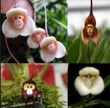 monkey orchids monkey orchids rebrn