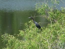 the lowcountry birderheron archives the lowcountry birder