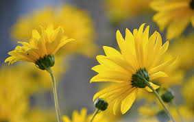 yellow flowers yellow flowers by svitakovaeva on deviantart
