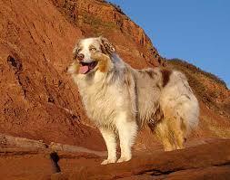 australian shepherd velcro dog australian shepherd photo of the month