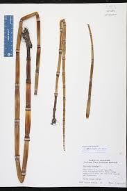 native plants of louisiana equisetum hyemale var affine species page isb atlas of