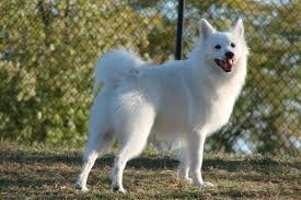 american eskimo dog in summer all verity of amazing photos dogs and their breed