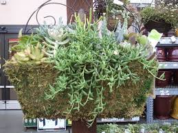 apt garden hanging succulent baskets