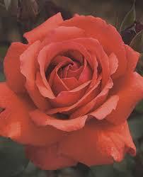 Fragrant Rose Plants - fragrant cloud hybrid tea rose