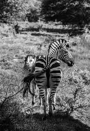black and white safari photography u2013 fubiz media