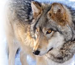 Colorado Wildlife Tours images Colorado wolf and wildlife center webp