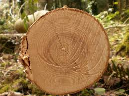 tree rings images Tree rings provide snapshots of earth 39 s past climate climate jpg