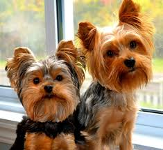 yorkies archives exotic art yorkshire terrier kennel u0026 club