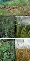 black bean aboriginal use of native plants growing the lost crops of eastern north america u0027s original