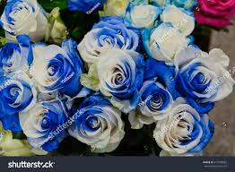 white and blue roses new real two tone white blue stock photo 419596882
