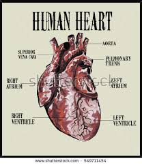 External Heart Anatomy External Structure Human Heart Realistic Human Stock Illustration
