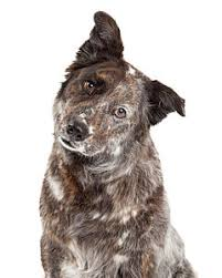 australian shepherd weiner dog mix australian shepherd art fine art america