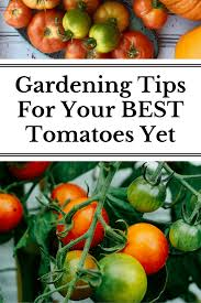 10 gardening tips for the best tomatoes