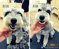 schnauzers hair cuts summer time dog grooming styles