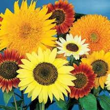 the best time to plant sunflower seeds black oil sunflowers and