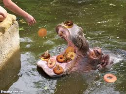 Hippo Memes - hippo eating donuts pictures freaking news