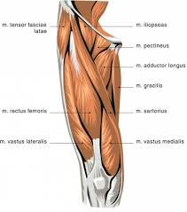What Is Human Anatomy And Physiology 1 Vastus Medialis Google Search Anatomy And Physiology 1 Pta