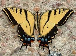 arizona state butterfly two tailed swallowtail butterfly