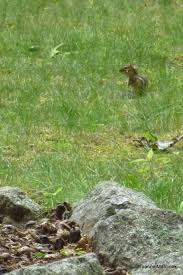 how to get rid of chipmunks in your yard made easy chipmunks