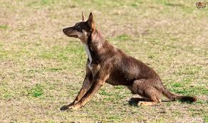 australian shepherd with short hair australian kelpie dog breed information buying advice photos and