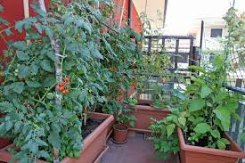 balcony and rooftop vegetable garden basics harvest to table