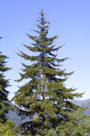 douglas fir google search j o b pinterest douglas fir and firs
