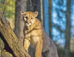 memorable bay area mountain lion appearances