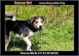 australian shepherd virginia west virginia australian shepherd rescue u2015 adoptions u2015 rescueme org