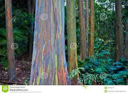 amazing rainbow eucalyptus stock photo image 38789374
