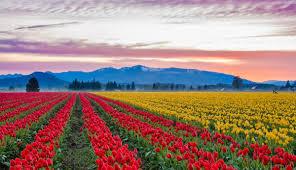 visit the world tulip fields of skagit valley near washington