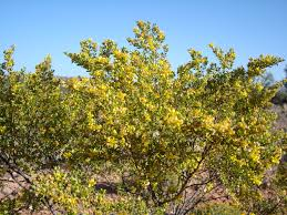 native plants of arizona creosote bush healing cancer u2013 walk a shamans path