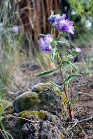 native plant nurseries oregon 15 best plants for central oregon images on pinterest central