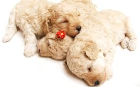cute sleeping puppies wallpapers hd wallpapers