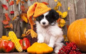 pet safety during thanksgiving falls church animal hospital