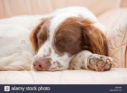 sleeping springer spaniel stock photos u0026 sleeping springer spaniel