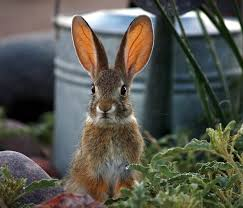 Rabbit Repellent For Gardens by Keep Rodents Rabbits And Squirrels Out Of The Garden Gardensall